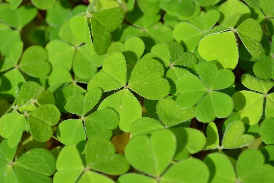 O trevo de 3 folhas foi usado por Saint Patrick