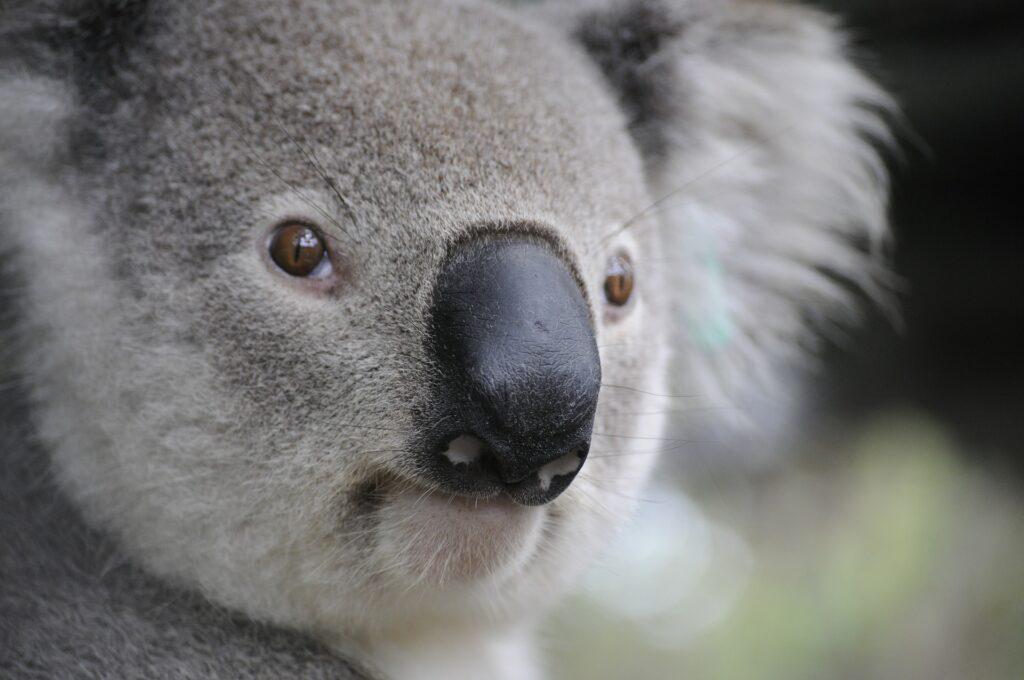 Imagem de um coala olhando para a câmera
